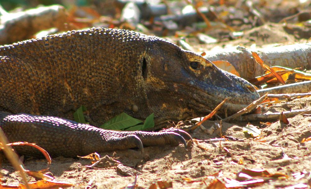 Komodo Dragon - Photo by Paul Johnson