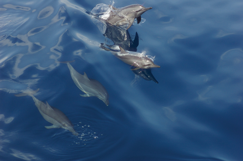 Dolphins off Pulau Moyo - Photo by Ed Shiels