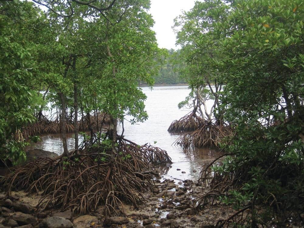 Mangroves in Pulau We, Sabang