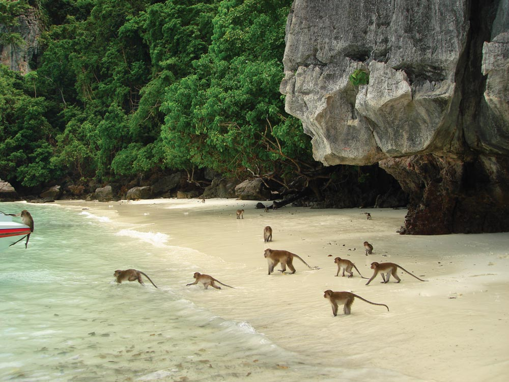 Monkey run wild on Phi Phi beach
