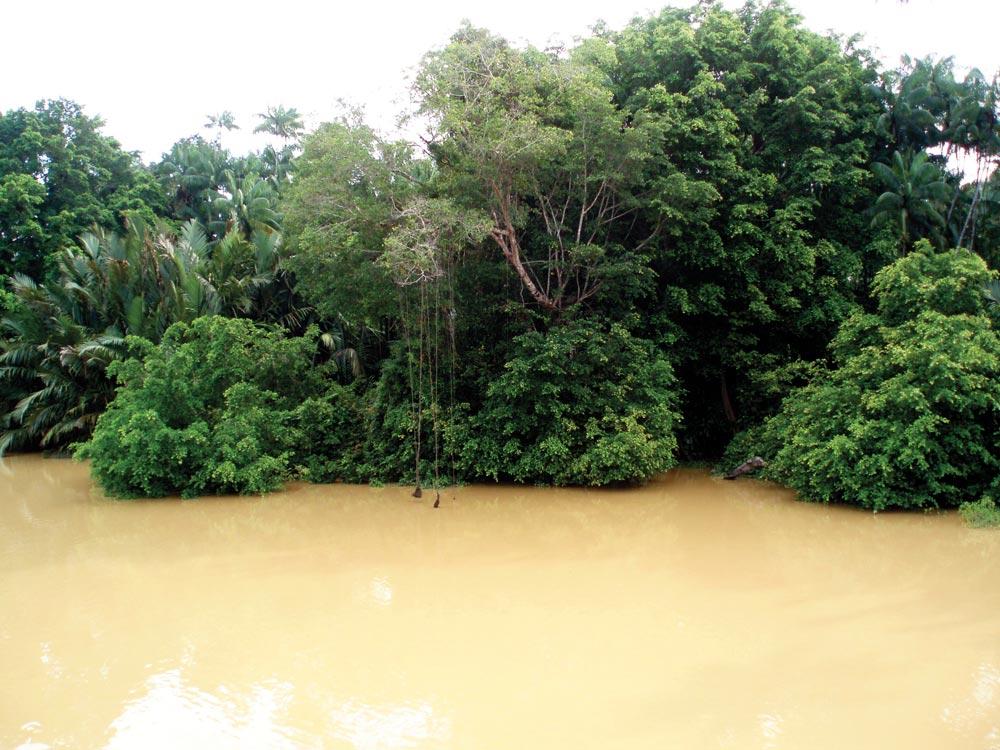 Dense vegetation and murky brown water on the Kinabatangan River
