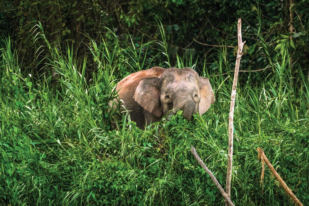 Borneo Pygmy Elephant at the side of the Kinabatangan River (East Sabah)