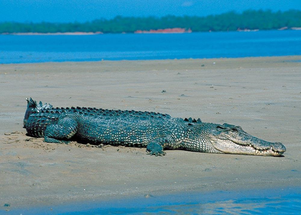 Saltwater_crocodile